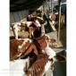 吉林肉牛�r格吉林肉牛基地吉林肉牛�B殖�黾�林肉牛市�黾�林肉牛繁育中心吉林肉牛��r格吉林肉牛牛��r格